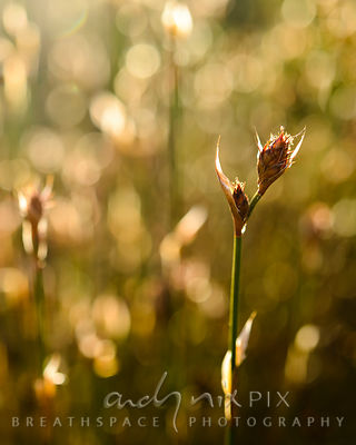 Wall Art Decor Photo Print: Restio Flower Glow