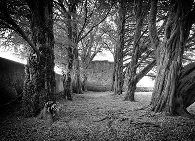 Abbey Trees