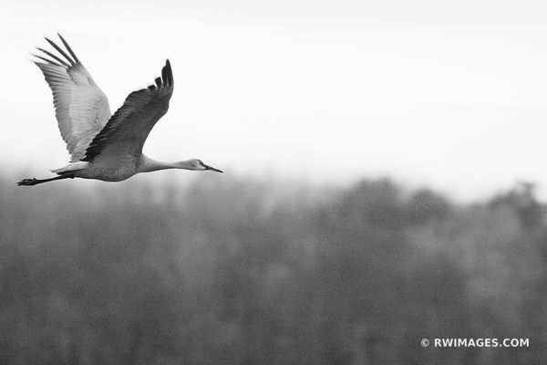 THE JOURNEY BEGINS ; MIGRATING SANDHILL CRANE GRUS CANADENSIS BLACK AND WHITE