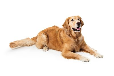 Obedient Goldeen Retriever Dog Lying Down
