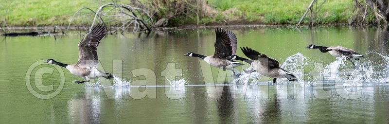 Goose_train_Date_(Month_DD_YYYY)1_1600_sec_at_f_7.1_NAT_WHITE