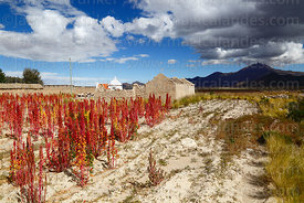 Field of Royal Quinoa / Quinua Real (Chenopodium quinoa), Tunupa volcano in background, Sivingani, Oruro Department, Bolivia