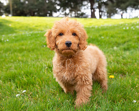 Goldendoodle Puppy Standing in Grassy Park Looking at Camera