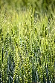 Ripening Green Wheat