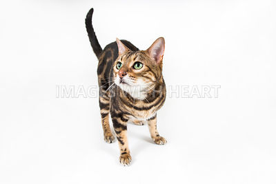 Full Body Bengal Cat Standing on White Background