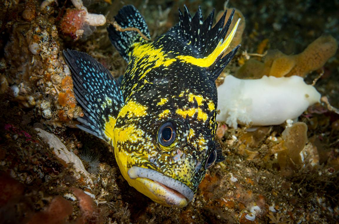 Portrait of a China Rockfish, Sebastes nebulosus, showing the spines on the top of its head.
