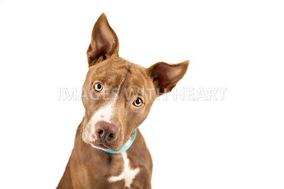 Brown pitbull mix close up tilting head