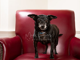 Small Black Chihuahua Mix Dog on Red Leather Chair