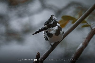 A perched pied kingfisher