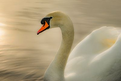 Delicate features of Mute Swan, Cygnus olor