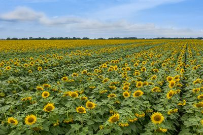 Drone photo of Texas Sunflowers