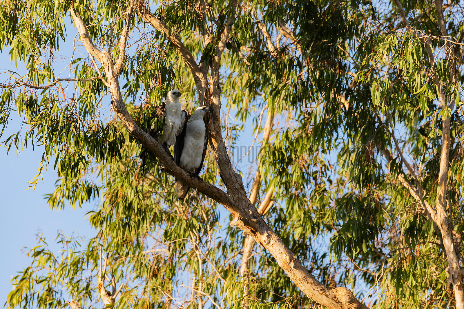 A Pair of White-bellied Sea Eagles Perch in a Paper Bark Tree along Corroboree Billabong