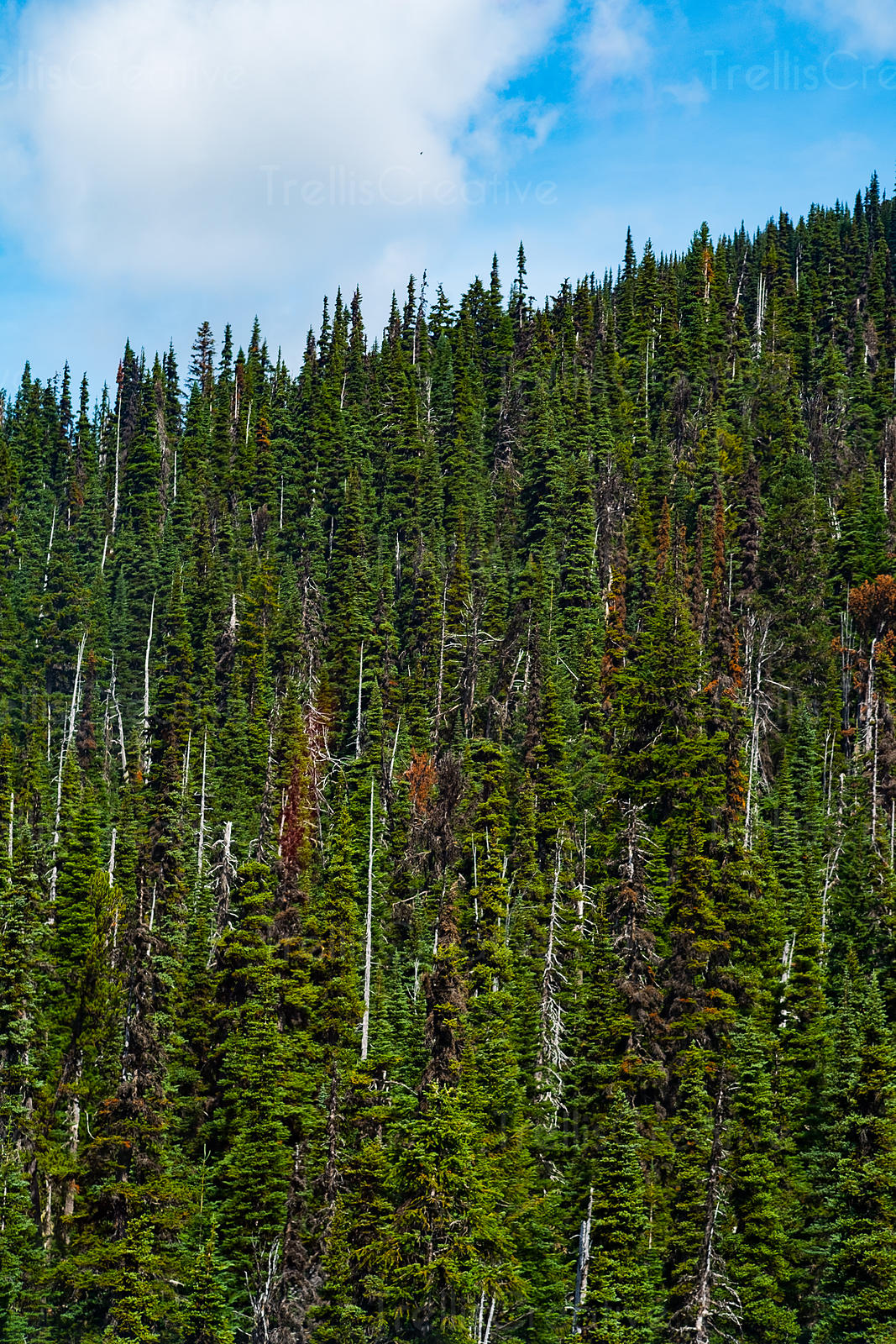 Forest on mountainside, Blackcomb Mountain, Whistler, Canada.