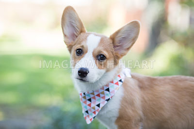 corgi_puppy_outside