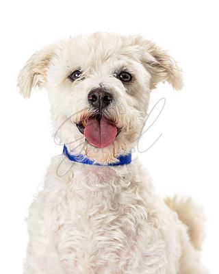 Cute Happy Smiling Poodle Crossbreed Dog