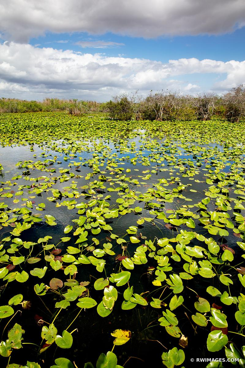 WATER LILY PADS ANHINGA TRAIL EVERGLADES FLORIDA VERTICAL