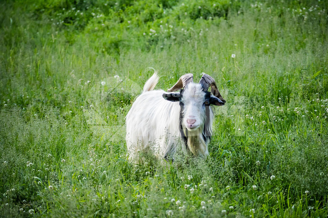 A Billy Goat in Ham Lake, Minnesota