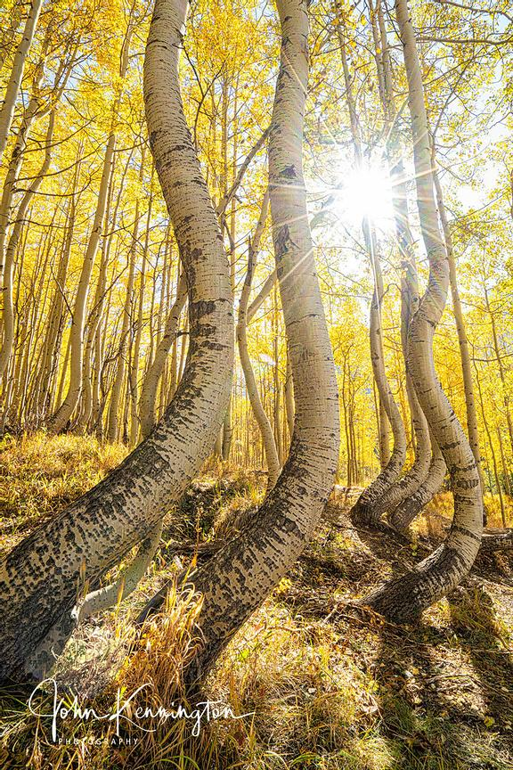 Dancing Aspens No. 11 (Vertical Panoramic), Uncompahgre National Forest, Colorado