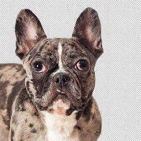 Close-up Brindle French Bulldog