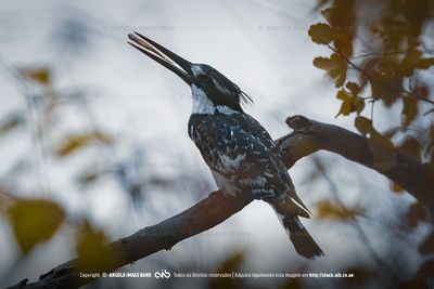 Perched Pied Kingfisher eating a fish