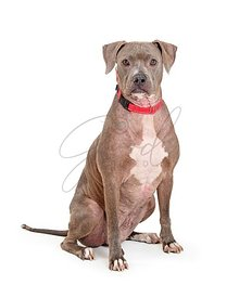 Blue Staffordshire Terrier Dog Sitting Looking Forward