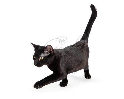 Black cat walking forward over white