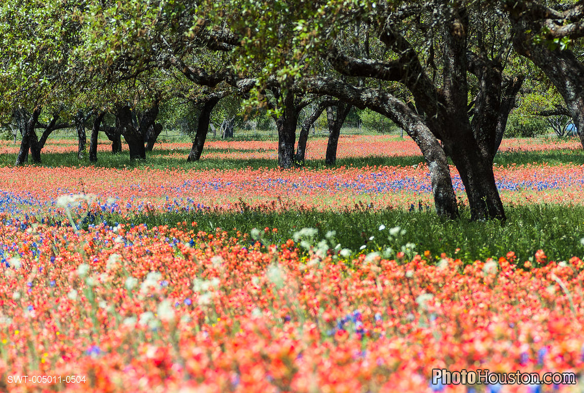 Field of Indian Paintbrush