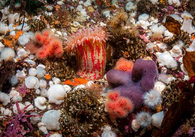 Painted Anemone among other invertebrate life near Telegraph Cove, BC.
