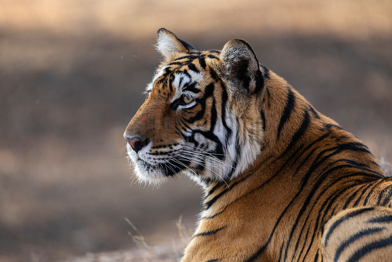 Portrait of a Female Tigress