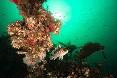 Copper Rockfish, Sebastes caurinus, beside wreckage of the SS Themis near the entrance to Browning Pass.