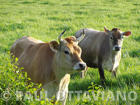 Happy Cows aka The Picture the Censors Don't Want You to See
