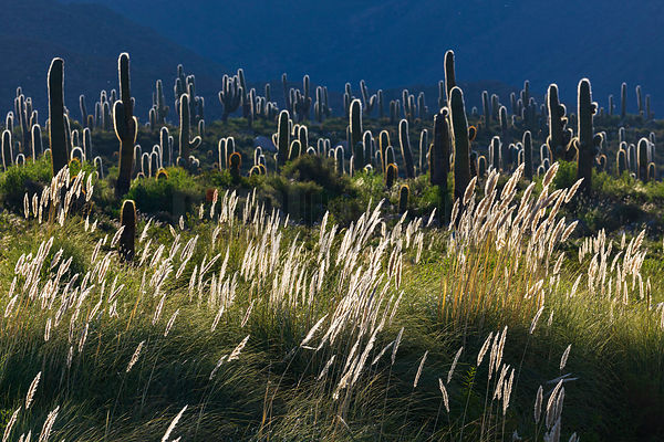 Backlit Pampas Grass and Giant Cactus at Las Pailas