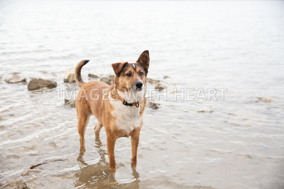 Dog-Standing-In-Lake