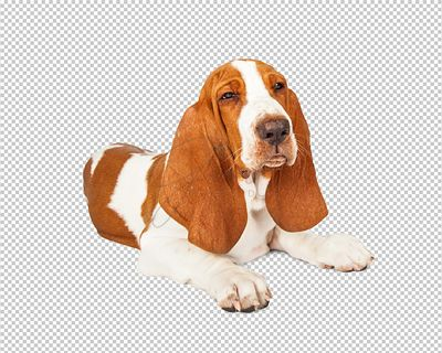 Angry Basset Hound Dog With Squinting Eyes