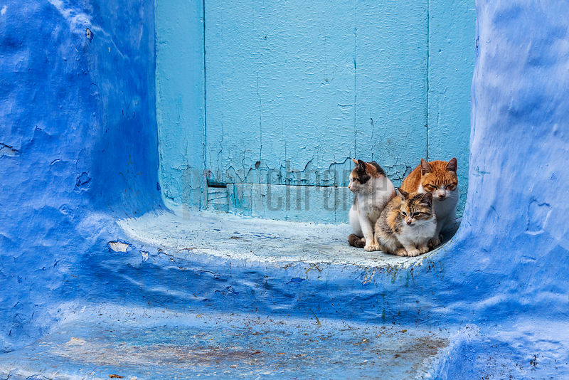 Street Cats in a Doorway in Chefchaouen