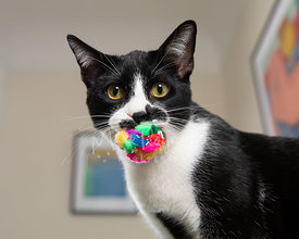 Close-up of Tuxedo Cat with Colored Toy in Mouth