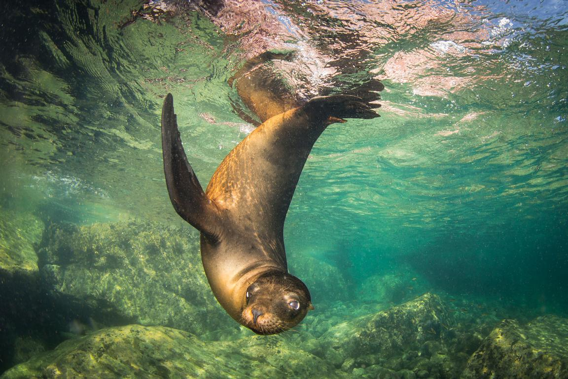 Young California Sea Lion, Zalophus californianus, cavorting in the clear waters of the Sea of Cortez.