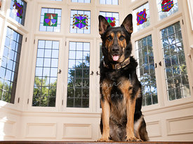 German Shepherd Sitting Near Stained Glass Windows
