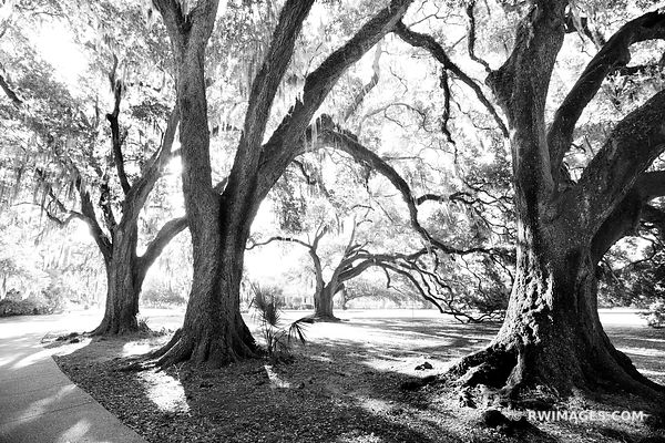OAKS SPANISH MOSS CITY PARK NEW ORLEANS LOUISIANA BLACK AND WHITE