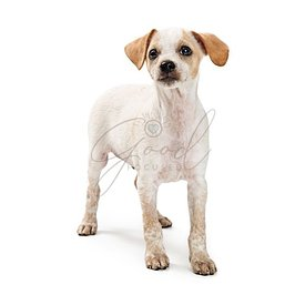 Curious mixed breed small white dog isolated