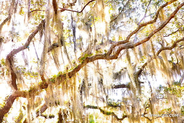 LIVE OAK TREES BRANCHES SPANISH MOSS PLUM ORCHARD CUMBERLAND ISLAND GEORGIA