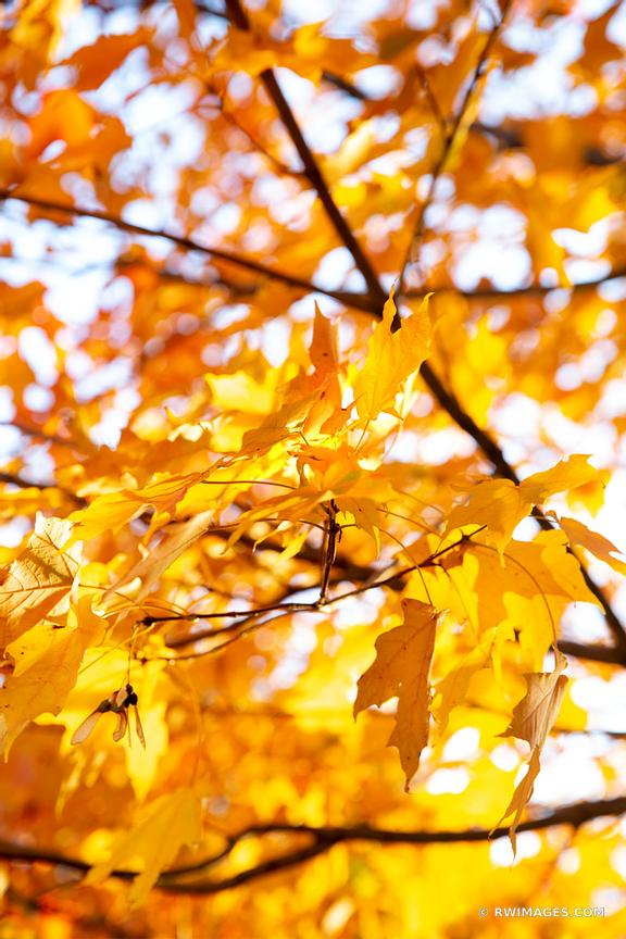 GOLDEN MAPLE TREE LEAVES FALL FOLIAGE LINCOLN PARK CHICAGO ILLINOIS COLOR VERTICAL