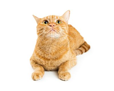 Orange Tabby Cat Lying Lifting Head Up