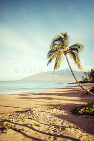 Curved Bent Palm Tree Maui Hawaii Photo