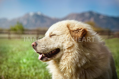 White dog profile outdoors in sun with mountains and blue sky