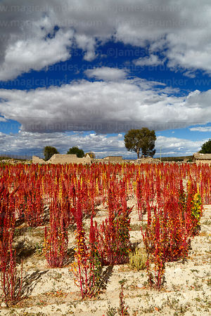 Field of Royal Quinoa / Quinua Real (Chenopodium quinoa) and abandoned houses in Sivingani, Oruro Department, Bolivia