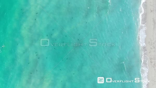 Sharks in Water Haulover Park Florida Drone Video