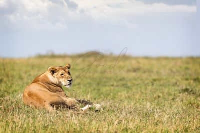 Beautiful Lioness Relaxing in Kenya