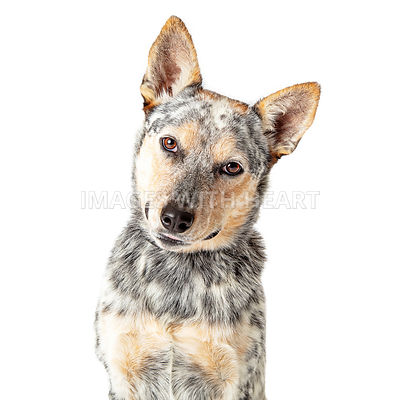 Close-Up Attentive Cattle Dog Tilting Head