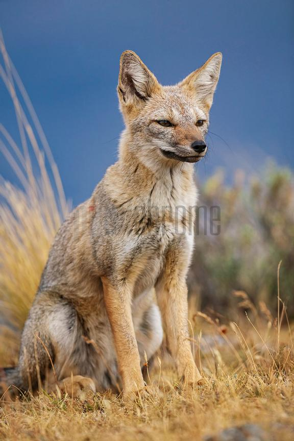 Portrait of a Patagonian Fox